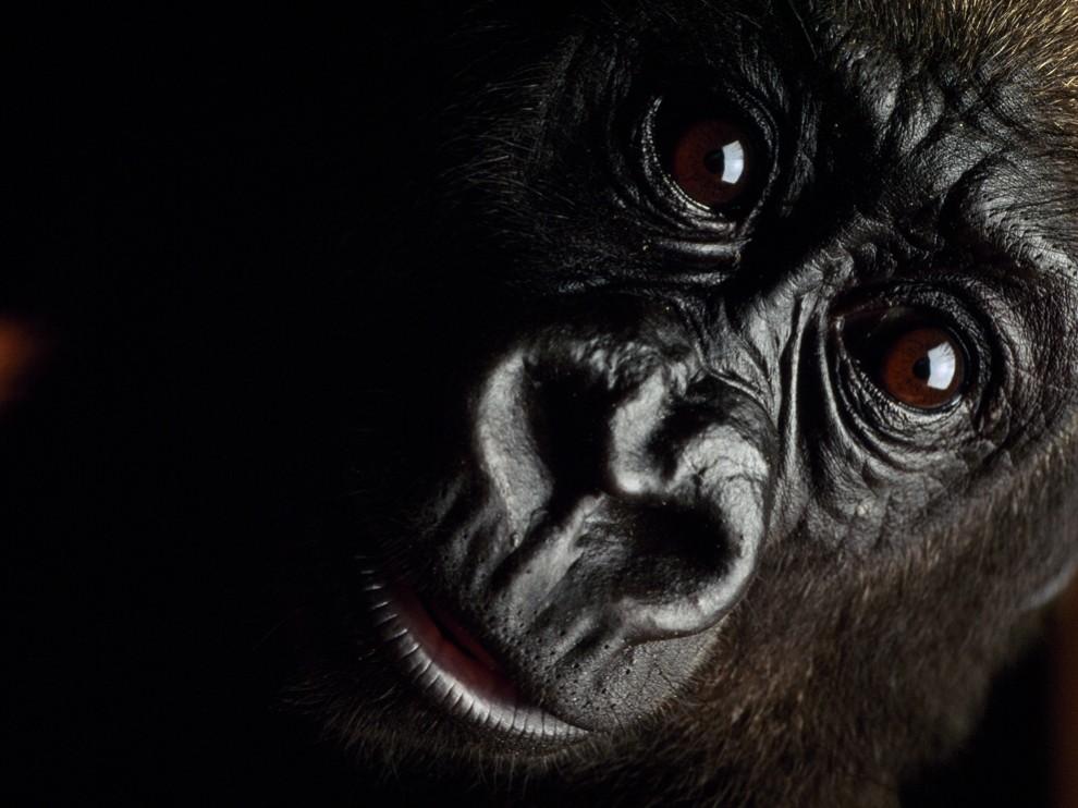 animal reiki pic gorilla eye